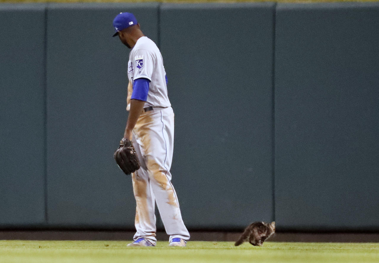 <p>Kansas City Royals center fielder Lorenzo Cain watches as a cat runs past during the sixth inning of a baseball game against the St. Louis Cardinals Wednesday, Aug. 9, 2017, in St. Louis. (AP Photo/Jeff Roberson) </p>
