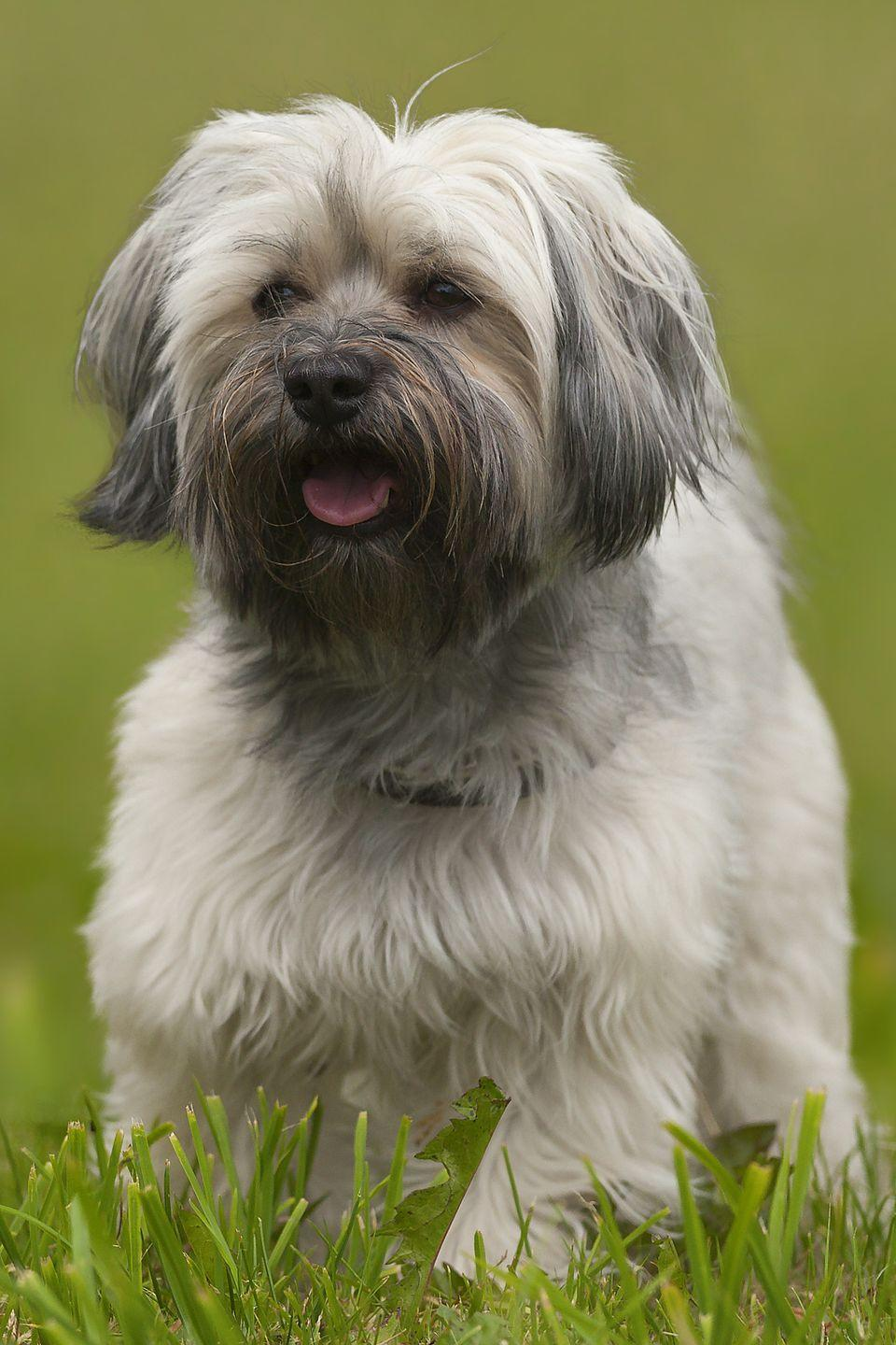 """<p>Happy and curious, <a href=""""https://www.goodhousekeeping.com/life/pets/advice/g1754/small-dog-breeds/?slide=11"""" rel=""""nofollow noopener"""" target=""""_blank"""" data-ylk=""""slk:Havanese"""" class=""""link rapid-noclick-resp"""">Havanese</a><span class=""""redactor-invisible-space""""> dogs sport silky, long coats in a variety of colors. They can look positively royal if you let their non-shedding coats grow long and carry them around like the kings and queens they think they are. Many owners prefer to give them a shorter clip for easier maintenance, and more playtime with less brushing. </span></p>"""