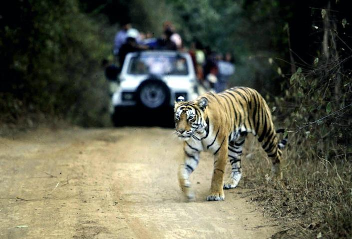 """<span class=""""caption"""">A tiger crosses a road in India's Ranthambore National Park.</span> <span class=""""attribution""""><a class=""""link rapid-noclick-resp"""" href=""""https://www.gettyimages.com/detail/news-photo/file-picture-taken-on-january-22-2002-shows-a-tiger-news-photo/79724349"""" rel=""""nofollow noopener"""" target=""""_blank"""" data-ylk=""""slk:Aditya Singh/AFP via Getty Images"""">Aditya Singh/AFP via Getty Images</a></span>"""