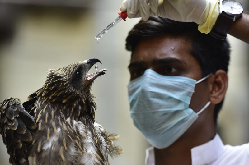 MUMBAI, INDIA - MARCH 30: Animal rescuer Yogesh Panhale feeds water with a dropper to Black Kite which was rescued as it was unconscious and dehydrated, found at BEST Quarters of Parel, on March 30, 2020 in Mumbai, India. (Photo by Anshuman Poyrekar/Hindustan Times via Getty Images)