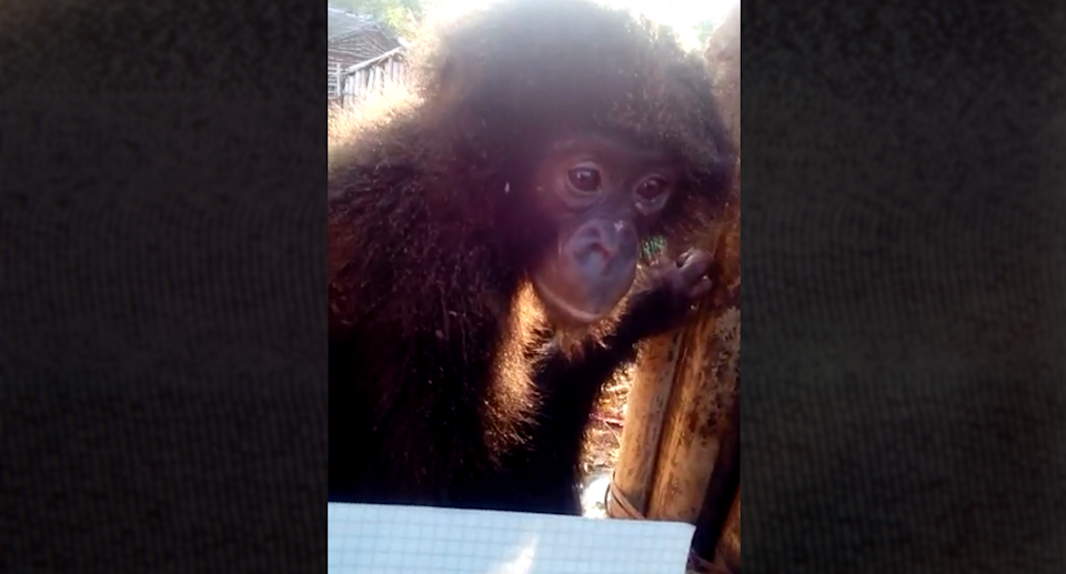 A short online video offered a young bonobo for sale to buyers in Dubai. Source: Supplied