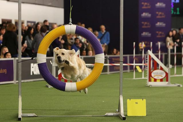 <p>A dog competes in the Masters Agility Championship during the Westminster Kennel Club Dog Show in New York, Feb. 10, 2018. (Photo: Caitlin Ochs/Reuters) </p>