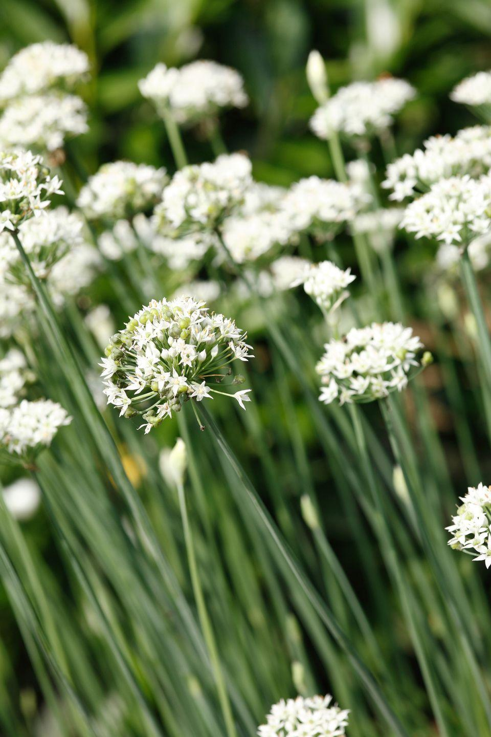 """<p>As you might have guessed, garlic chives offer a mild garlic flavor. Both the leaves and white flowers, which appear in late summer, are totally edible.</p><p><a class=""""link rapid-noclick-resp"""" href=""""https://go.redirectingat.com?id=74968X1596630&url=https%3A%2F%2Fwww.edenbrothers.com%2Fstore%2Fgarlic-chives-seeds.html&sref=https%3A%2F%2Fwww.thepioneerwoman.com%2Fhome-lifestyle%2Fgardening%2Fg36533467%2Fbest-perennial-herbs%2F"""" rel=""""nofollow noopener"""" target=""""_blank"""" data-ylk=""""slk:SHOP NOW"""">SHOP NOW</a></p>"""