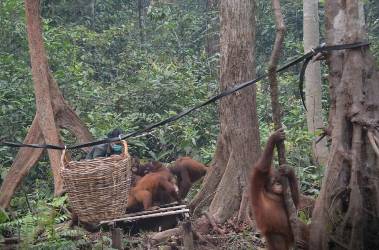 The toxic haze was so bad in parts of Kalimantan that rescuers at an Orangutan shelter were keeping the great apes indoors for much of the day