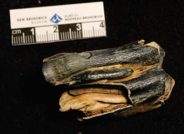 This camel teeth fossil was found in the Shediac area.