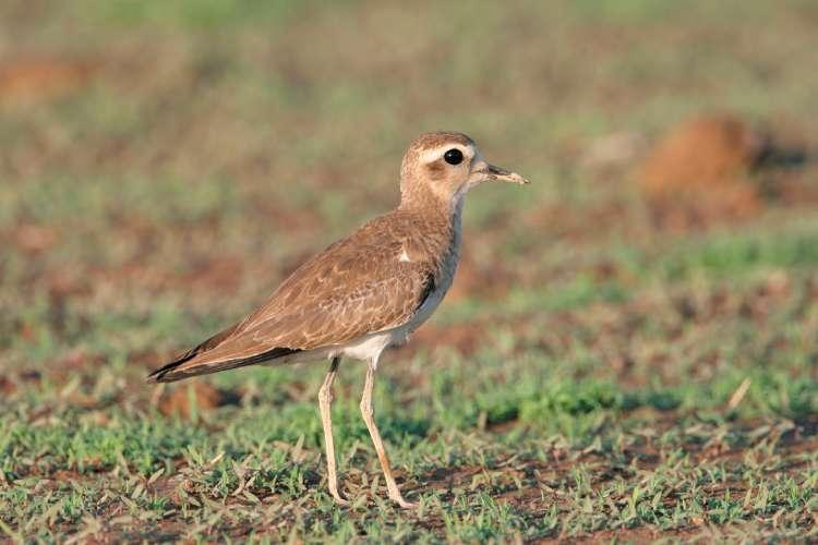 Plovers with lots of lovers had less genetic diversity than their monogamous cousins, researchers found: ALAMY