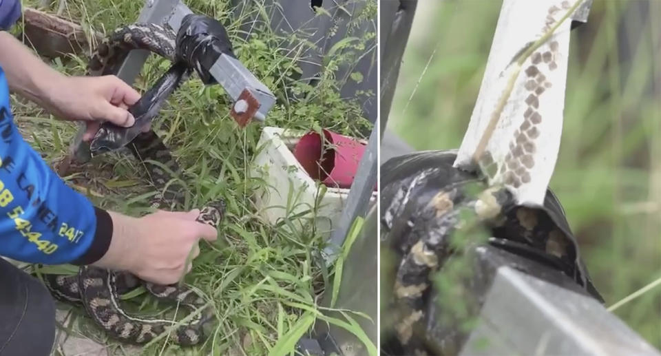 A still from the snake catcher's video shows a carpet python duct taped to a pole by its tail.
