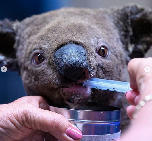 A koala is treated at the Port Macquarie Koala Hospital after the 2019 NSW bushfires left it injured and homeless