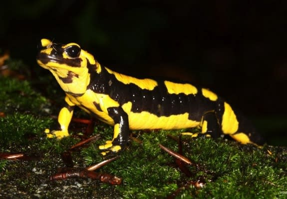 Odd Cause of Salamander Die-Off Found: Skin-Eating Fungus