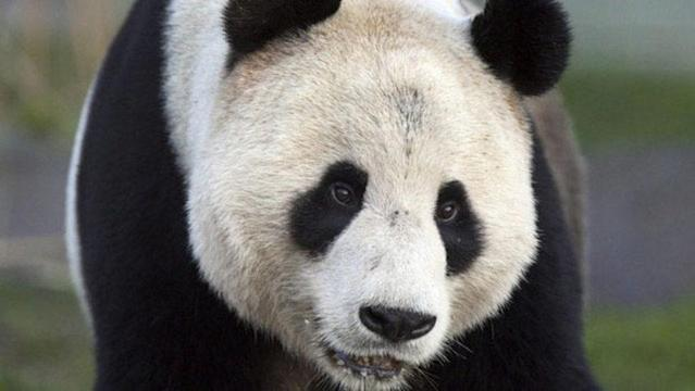 Two giant pandas arrive from China Monday morning, for a 10-year stay, first in Toronto and then on to Calgary.