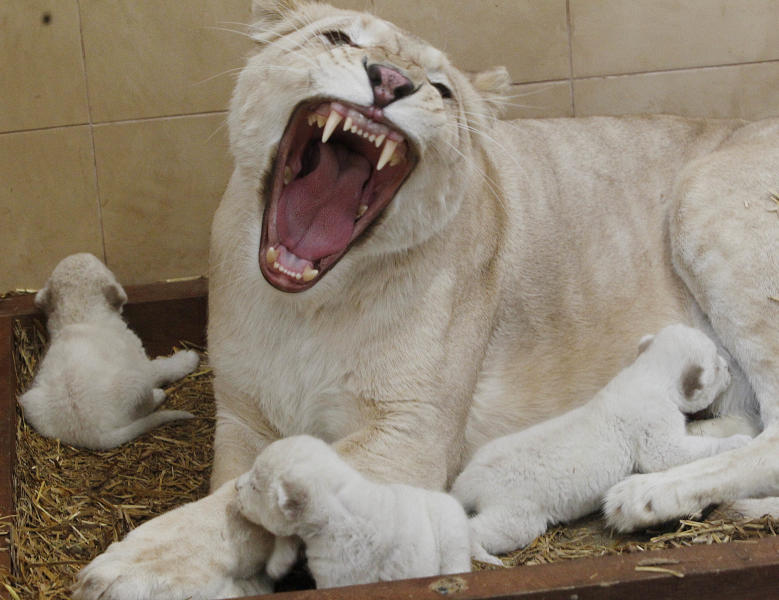 White lioness Azira lies in their cage with her three white cubs that were born last week in a private zoo in Borysew, in central Poland, on Tuesday, Feb. 4, 2014. Zoo owner Andrzej Pabich says white lions often have defects the prevent giving birth, or the mother rejects her cubs, but two and a half-year-old Azira has been patiently feeding and caring for her little ones, as three and a half-year-old Sahim, who fathered them, watches from a neighboring cage. (AP Photo/Czarek Sokolowski)