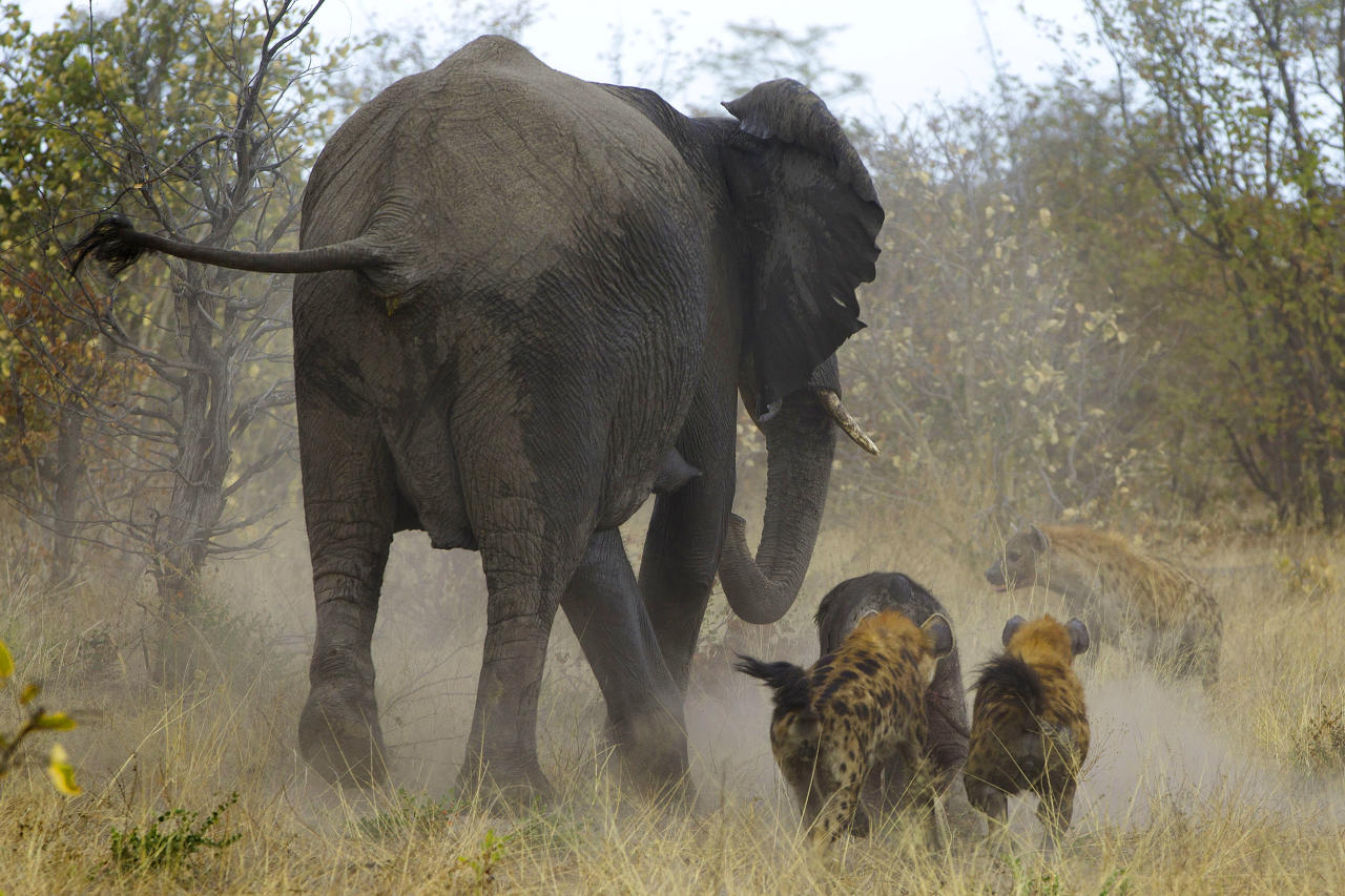 PIC BY JAYESH MEHTA / CATERS NEWS - (PICTURED: In sequence, the elephant chasing the Hyenas away from its calf) - This is the incredible moment an elephant came to the rescue of one of its babies being attacked by a pack of hyenas. The elephant is seen charging at the hyenas to ward them off its offspring. These amazing pictures were captured by American photographer Jayesh Mehta, 47, in the Savuti region of the Chobe National Park in Botswana. SEE CATERS COPY.