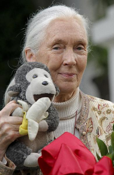 "FILE - This April 25, 2012 file photo shows chimpanzee expert Jane Goodall holding a monkey doll she brings with her wherever she travel in Pasadena, Calif. The Fish and Wildlife Service says it wants to protect chimpanzees as endangered both in captivity and in the wild. The action could affect the use of chimpanzees in medical research. A plan announced Tuesday would do away with a ""split listing"" that has labeled wild chimps as endangered but those in captivity as threatened, a status that offers less protection. The agency said that if made final, the proposal would require a permit to use chimps in medical research. Interstate sales of chimps also would require a permit. About 2,000 chimps are held in captivity in the United States. The agency said it will work with the National Institutes of Health and zoos to consider implications of the new listing. (AP Photo/Nick Ut, File)"