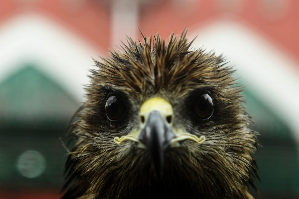 <strong>This black kite has seen things.</strong> (Photo by DIBYANGSHU SARKAR/AFP via Getty Images)