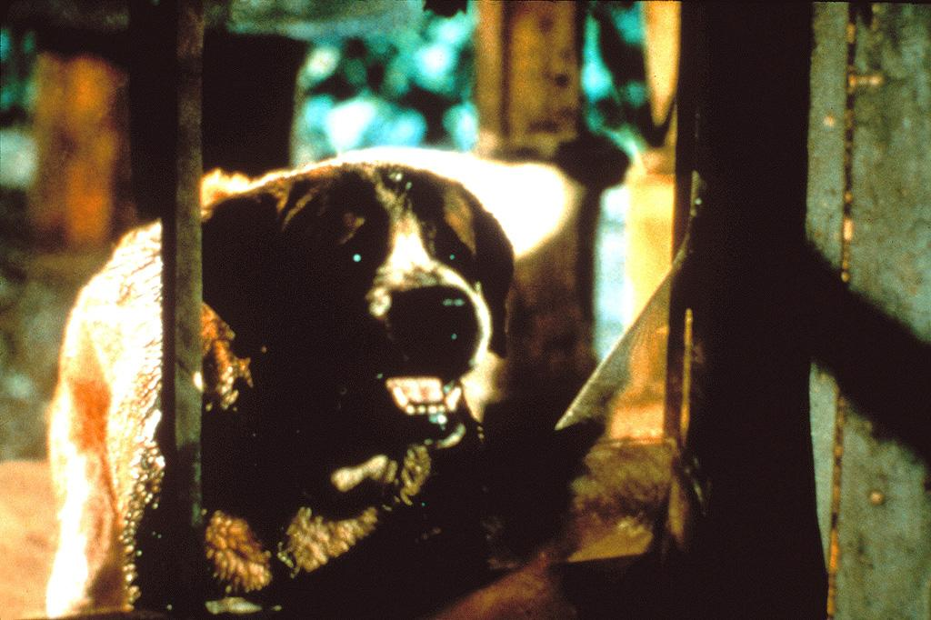 """<a href=""""http://movies.yahoo.com/movie/1800052437/info"""">Cujo</a> (1983): Man's best friend becomes his most fearsome, furry enemy in this thriller based on the Stephen King novel. The name alone is so synonymous with killer canines, it's become shorthand. And it's not like some yippy, annoying dog that turns into a monster, like a Yorkie or a Chihuahua. No, this is a friendly, lovable St. Bernard, a breed that's traditionally been known as a reliable caretaker, who goes wild after he's bitten by a rabid bat and wreaks havoc on a small town. It's sort of a squeamish thing, the idea of having to fight and take down an animal that's traditionally considered a family member, but """"Cujo"""" suggests that primal survival instincts will always win out in the end."""