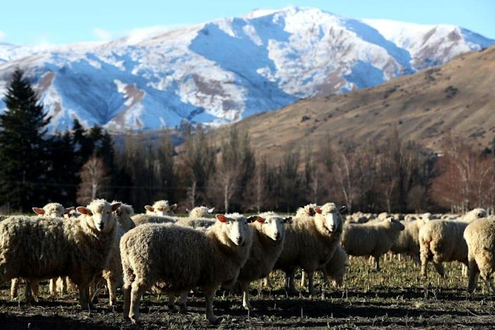 A group of sheep graze in the foreground as an impressive mountain range extends across the back of this New Zealand landscape.
