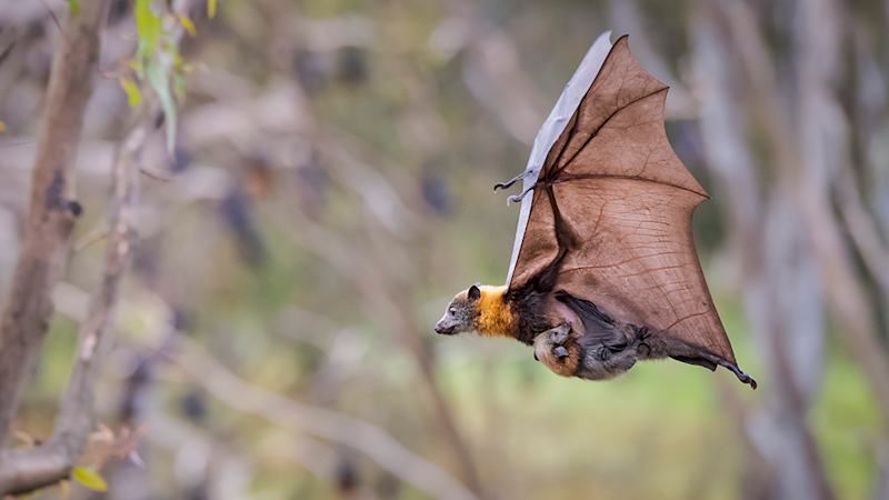 Grey-headed flying-fox numbers have plummeted as they lose their food sources: Source: Doug Gimsey via ACF