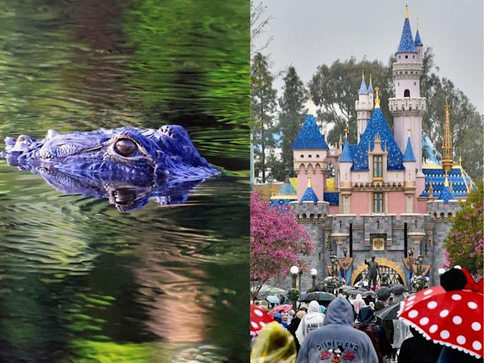 At right, an alligator in the water. At right, the castle at Disney's Magic Kingdom.