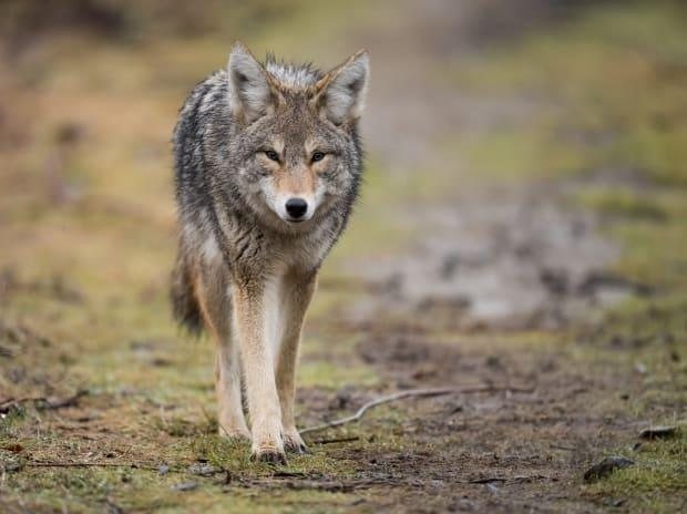 Coyotes have bitten or nipped at 16 people in Vancouver's Stanley Park since Christmas, according to the B.C. Conservation Officer Service. The tally includes an incident on Tuesday in which a woman walking on the seawall was bitten on the leg. (Harry Collins Photography/Shutterstock - image credit)