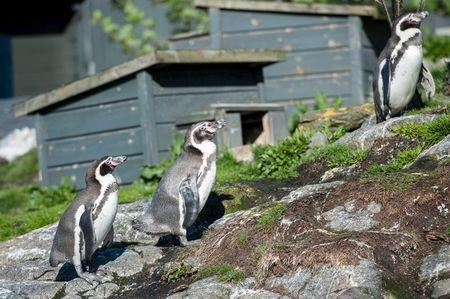 Humbolt penguins are seen in their habitat at an aquarium where three baby penguins were stolen, in Aalesund on Norway's west coast, May 15, 2015. REUTERS/Marius Simensen/NTB Scanpix