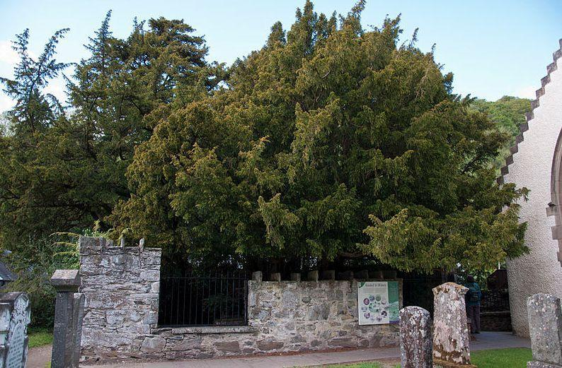 Fortingall Yew in Perthshire is thought to be between 3,000 - 5,000 years old but could have just 100 more years left after visitors repeatedly took trophies home. (Wikimedia/Mogens Engelund)