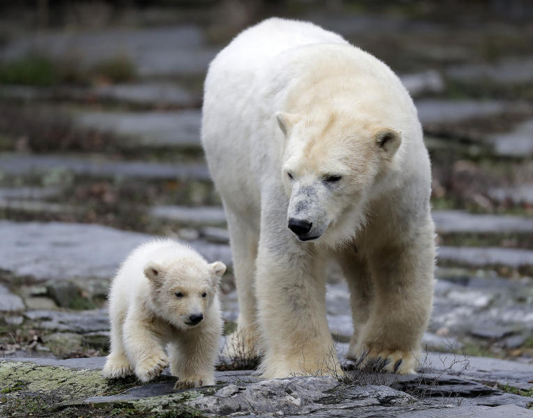 A female polar bear baby walks with its mother Tonja through their enclosure at the Tierpark zoo in Berlin, Friday, March 15, 2019. The still unnamed bear, born Dec. 1, 2018 at the Tierpark, is presented to the public for the first time. (AP Photo/Markus Schreiber)