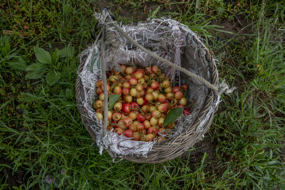 Cherries plucked by Kashmiri farmers are seen inside a wicker basket inside an orchard in Waliwar village, north east of Srinagar, Indian controlled Kashmir, Wednesday, June 16, 2021. Cherry farmers in Kashmir who were not able get most of their produce to the markets last year because of the COVID-19 pandemic are hoping for good returns this year. (AP Photo/ Dar Yasin)