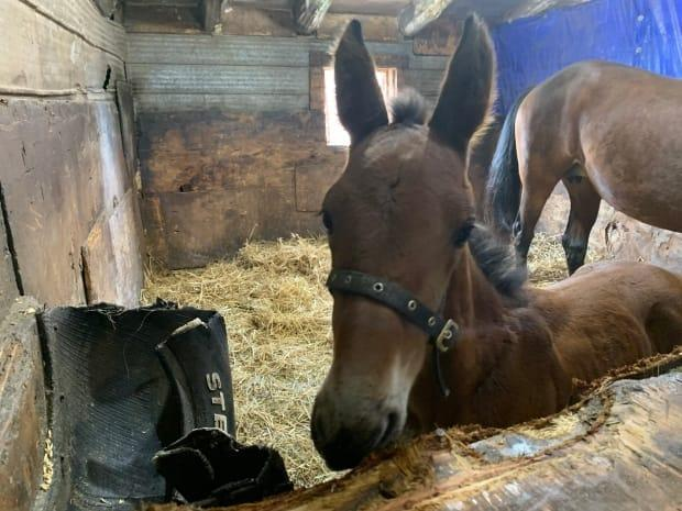 Dixie is a curious little filly. She's already very well socialized because she spent so much time with Alexis while her mother Daisy was sick.