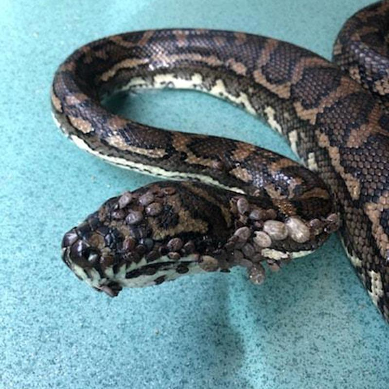 Snake Catcher Saves Python Found With 511 Ticks On Its Body