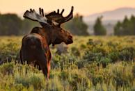 <p><strong>Moose - </strong>Climate change and human interactions have stifled the moose population to just below 500 in the state. Recent wolf settlements have kept it's numbers from growing as well. </p>