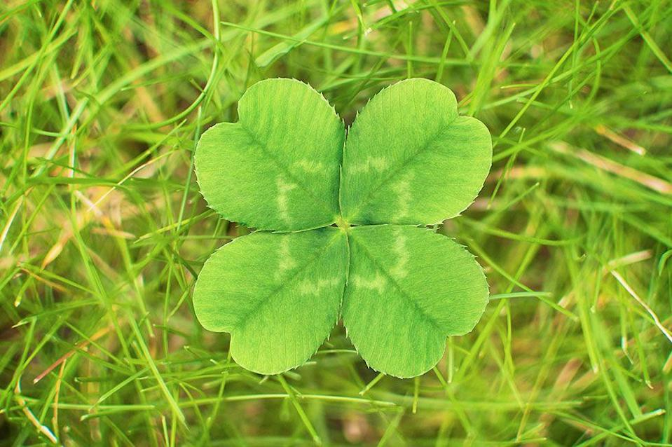 """<p>You might think the myth of the four-leaf clover has celtic origins, but you'd be wrong. The <a href=""""https://www.dailytelegraph.com.au/newslocal/macarthur/what-are-the-odds-woman-finds-21-fourleaf-clovers-in-her-front-yard/news-story/421524008bdcef723a95f54495d345d6"""" rel=""""nofollow noopener"""" target=""""_blank"""" data-ylk=""""slk:hype around the shamrock"""" class=""""link rapid-noclick-resp"""">hype around the shamrock</a> started with Adam and Eve when Eve took a four-leaf clover from the Garden of Eden as a souvenir from the beautiful paradise they were leaving behind when they were exiled. Other cultures including the ancient Egyptians and yes, the Druid priests of Ireland, who believed that the clovers had healing properties and could ward off evil. It is estimated that the chances of finding a four-leaf clover is one in 10,000.</p>"""