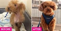 """<p>When Cookie was surrendered to Hamilton Animal Control in Ontario, she had a skin infection and was severely malnourished. Vets believe she was a puppy mill dog who had several litters before she was taken in by the <a href=""""http://www.ladybirdanimalsanctuary.com/"""" rel=""""nofollow noopener"""" target=""""_blank"""" data-ylk=""""slk:Ladybird Animal Sanctuary"""" class=""""link rapid-noclick-resp"""">Ladybird Animal Sanctuary</a>. Her parents call her a """"foster fail"""" because they couldn't bear to give her up after so many sleepless nights spent comforting her. She continues to make strides every day while enjoying life with her step brother, <a href=""""https://www.instagram.com/benjamindoodle/"""" rel=""""nofollow noopener"""" target=""""_blank"""" data-ylk=""""slk:Benjamin Franklin"""" class=""""link rapid-noclick-resp"""">Benjamin Franklin</a>. </p>"""