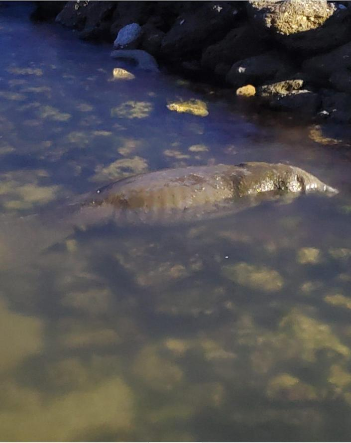 An emaciated manatee was sighted off the pier at the Manatee Hammock Campground in Titusville eating algae off the rocks on Wednesday, June 30, 2021. State wildlife crews are working on finding the animal again and assessing it for a potential rescue, according to Save the Manatee Club.