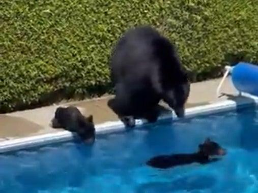 A mother bear and her cubs were caught on camera earlier this month taking a dip in a swimming pool in British Columbia in order to keep cool (EarthTouchNewsNetwork)