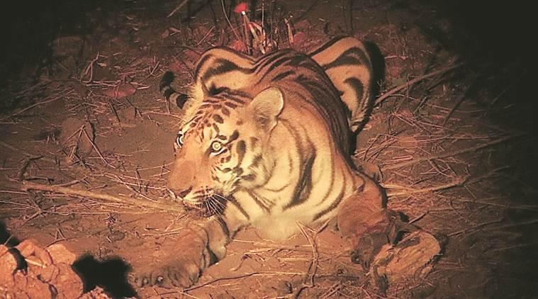 artificial limb for tiger, nagpur veterianry doctors, tiger paw surgery, tiger rib surgery, Surgery for artificial limb for tiger, india news, indian express