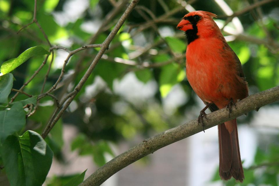 Male Northern Cardinal (Cardinalidae) perched in a tree in Toronto, Ontario, Canada.  (Photo by Creative Touch Imaging Ltd./NurPhoto via Getty Images)