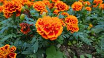 <p>This bright and sunny annual is an excellent choice for all USDA Hardiness Zones with a bloom time in the summer.</p>