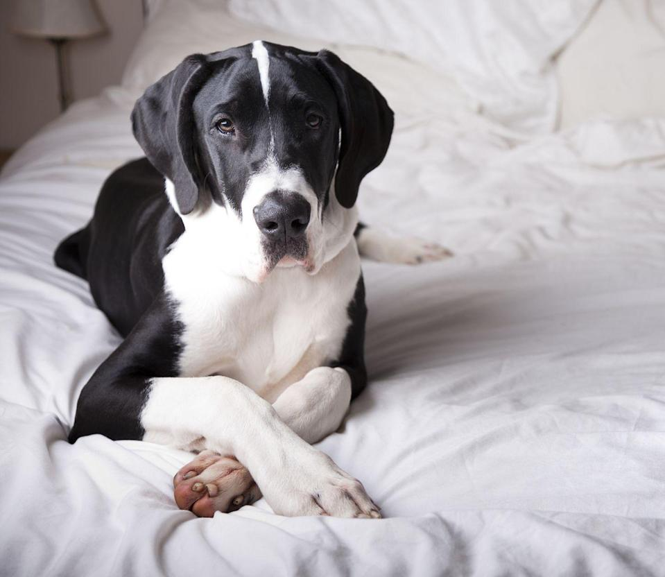 "<p>Looking for a lovable dog whose heart is just as big as its body? Consider a Great Dane. These dogs are ""gentle giants,"" Ellis says, adding that their ""calm demeanor makes them perfect for small space living.""</p>"