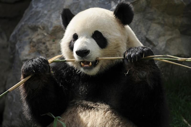 "Despite two million years of munching almost exclusively on bamboo, the giant panda's gut has not adapted to eating the plant -- putting the creatures in an ""evolutionary dilemma"", scientists said"