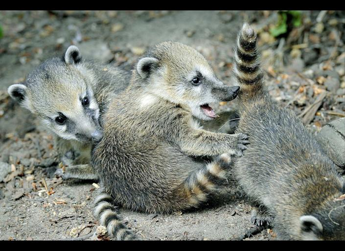 Ring-tailed coati cubs play at the zoo in Duisburg, western Germany, Friday, May 6, 2011.