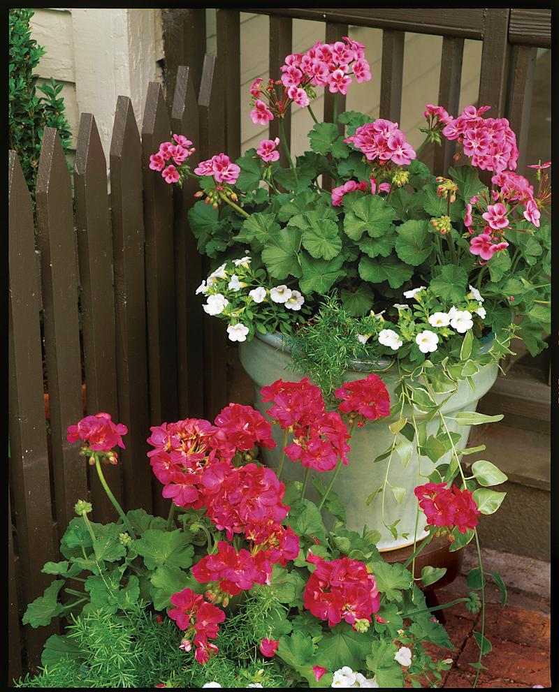 Types Of Geraniums: RX_Plant Geraniums In Containers