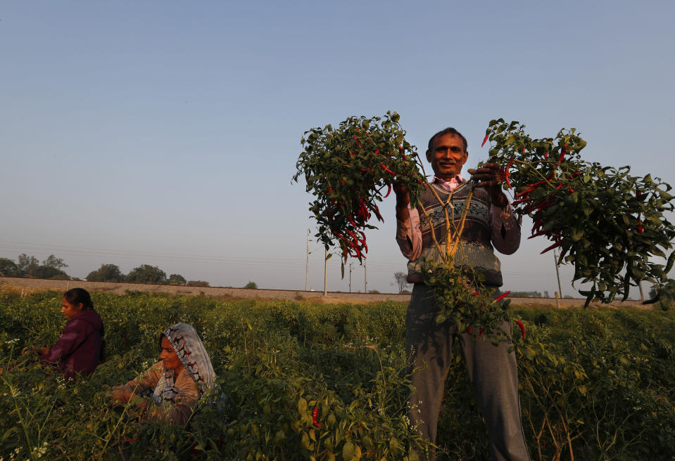Indian farmer Ram Singh Patel shows his yield of chillies at his farm in Fatehpur district, 180 kilometers (112 miles) south of Lucknow, India, Saturday, Dec. 19, 2020. Patel's day starts at 6 in the morning, when he walks into his farmland tucked next to a railway line. For hours he toils on the farm, where he grows chili peppers, onions, garlic, tomatoes and papayas. Sometimes his wife, two sons and two daughters join him to lend a helping hand or have lunch with him. (AP Photo/Rajesh Kumar Singh)
