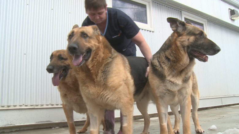 Pack of German shepherds looking for home after owner's death