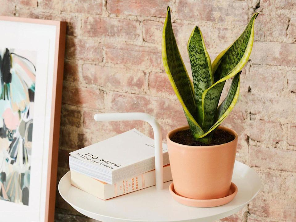 the-sill_snake-plant-laurentii_lif3style_4x3 - Credit: The Sill