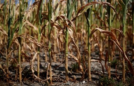 FILE PHOTO: A corn field affected by drought is pictured in Montbert near Nantes