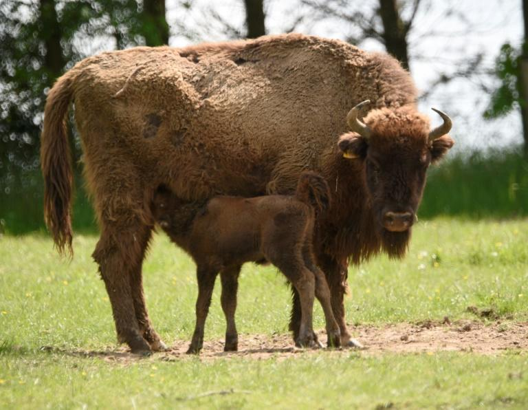 A potential candidate species for introduction to the Chernobyl area is the European bison