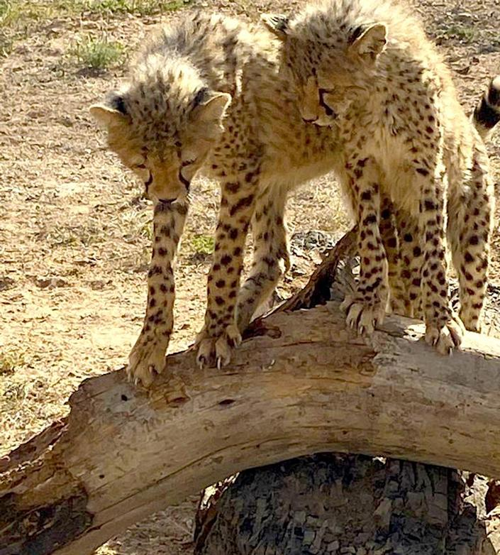 Many stolen cheetahs end up in Middle Eastern countries. (Sigi de Vos / NBC News)