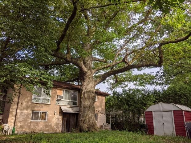 A massive red oak grows within a fewmetres of the house at 76 Coral Gable Dr. in Toronto. (AFP via Getty Images - image credit)