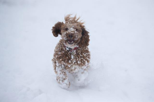 Willow, a one-year-old Cockerpoo, enjoys the snow in Wye National Nature Reserve near Ashford in Kent
