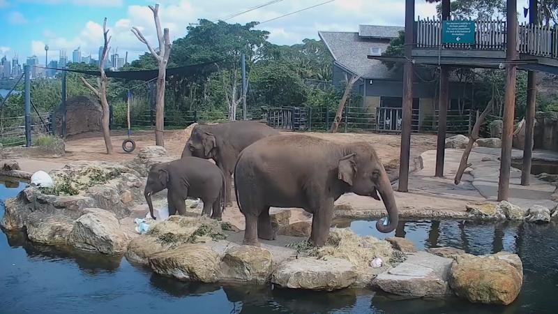 A still of elephants at Easter as part of Taronga Zoo's livestream.